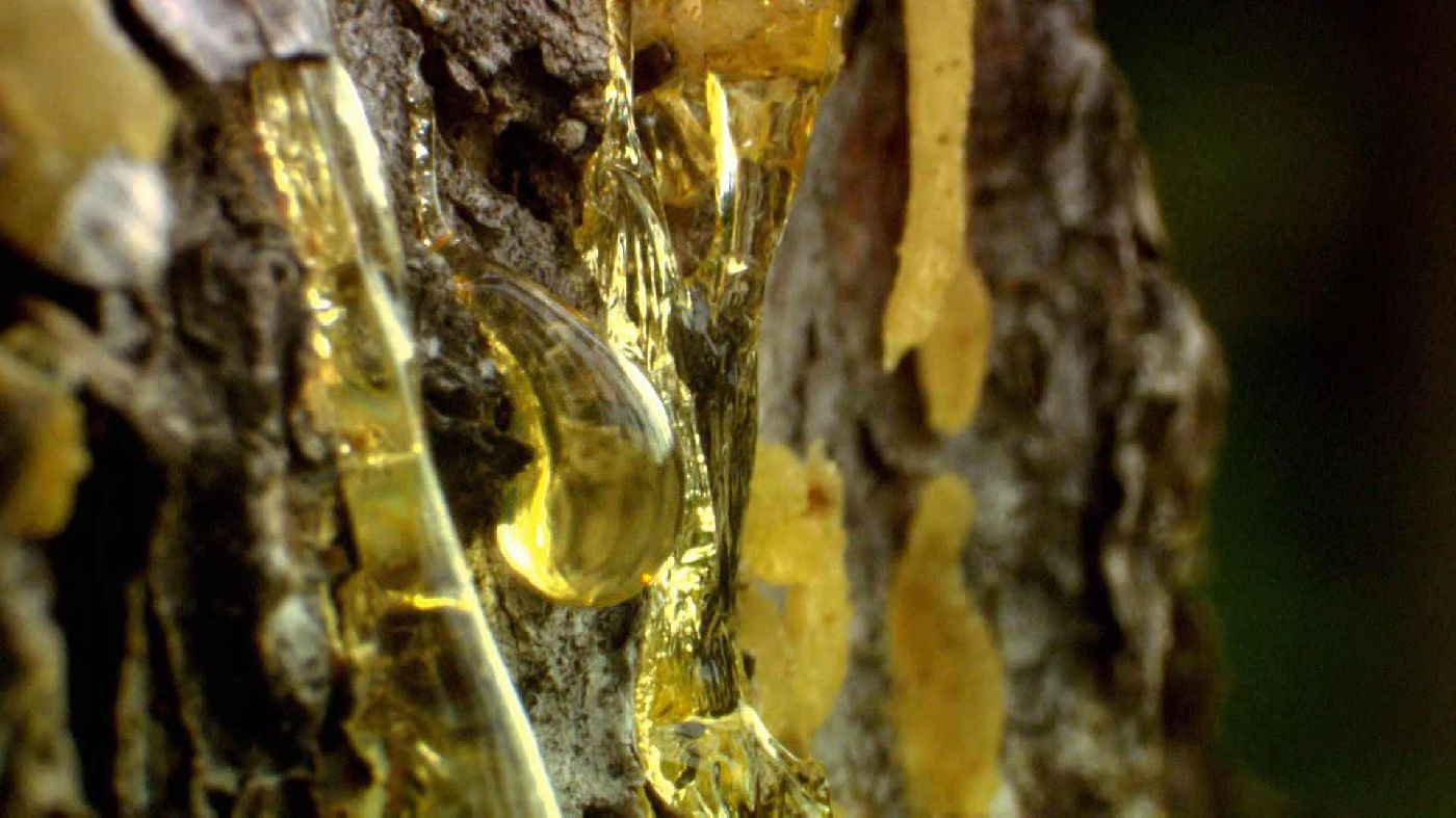 treatments with pine sap