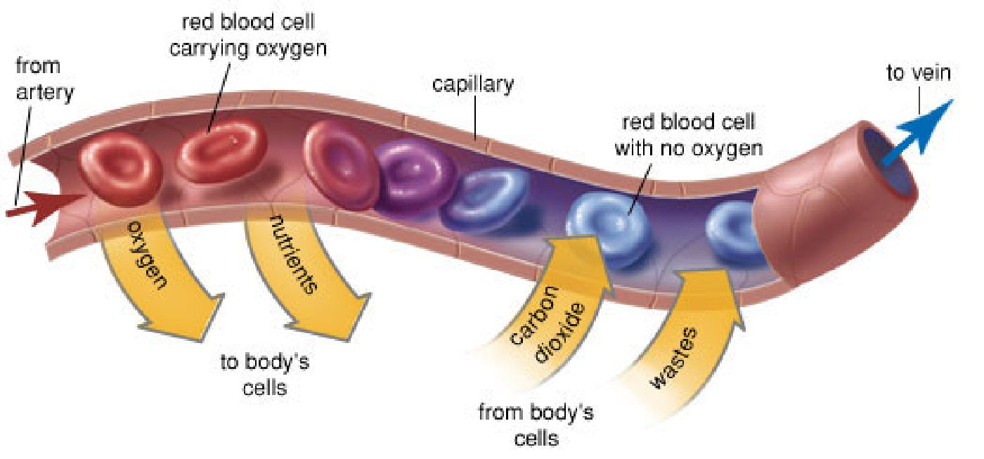 Capillary microcirculation is the main area where metabolism occurs